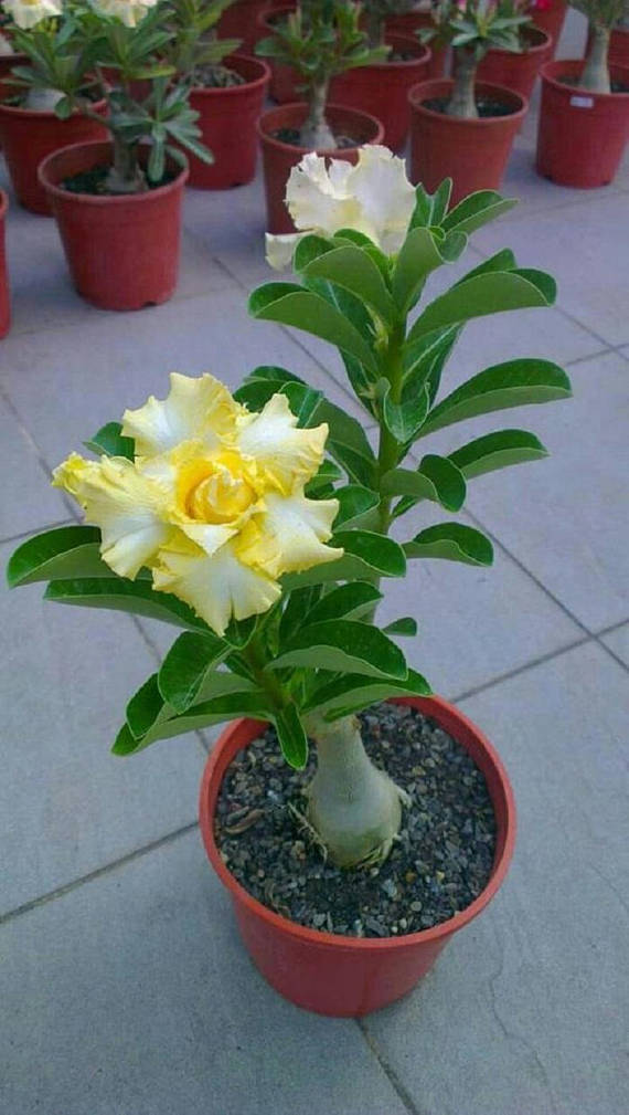 Adenium-Obesum-Desert-Rose-Flower-Bonsai