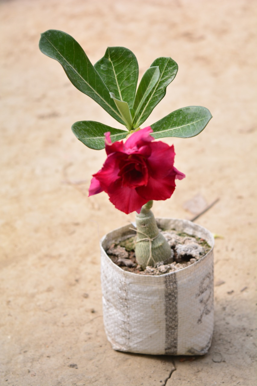 Pack of 3 Adenium-Obesum-Desert-Rose-Flower-Bonsai plants